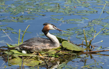 Great Crested Grebe brooding an egg Stock Photo