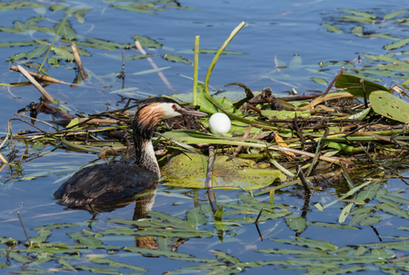 Great Crested Grebe and an egg on the nest Stock Photo