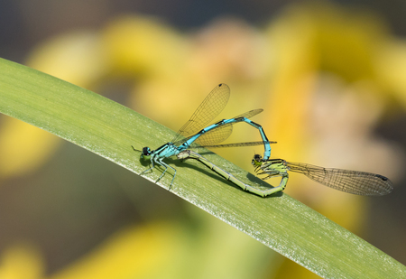 Small dragonflies mating Stock Photo
