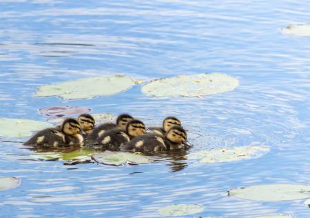 Mallard babies swimming