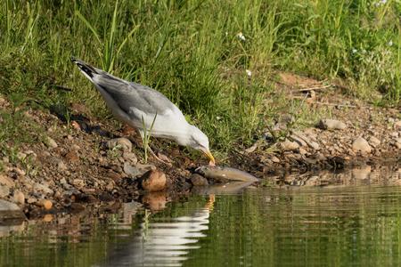 European Herring Gull and a fish