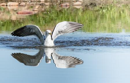 Lesser Black-backed Gull landing on water