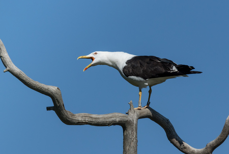 Lesser Black-backed Gull shouting on a branch