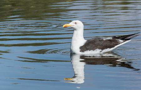 Lesser Black-backed Gull swimming Stock Photo