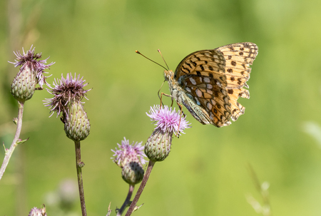 High brown fritillary on a thistle flower