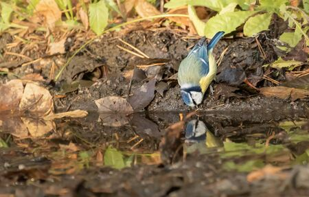 Blue tit drinking from a puddle Stock Photo