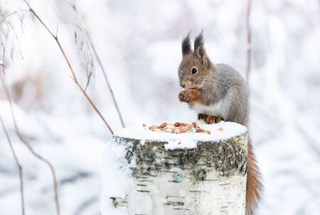 Red squirrel is eating peanuts on a feeding place Stock Photo