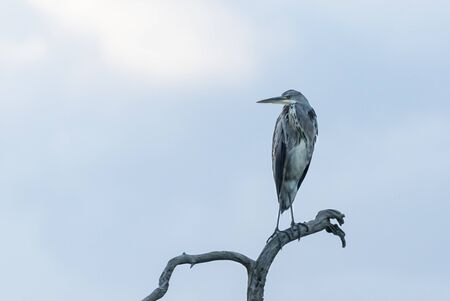 Young grey heron on a branch Stock Photo