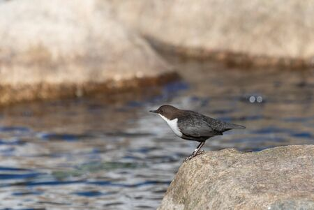 White-throated dipper on a rock