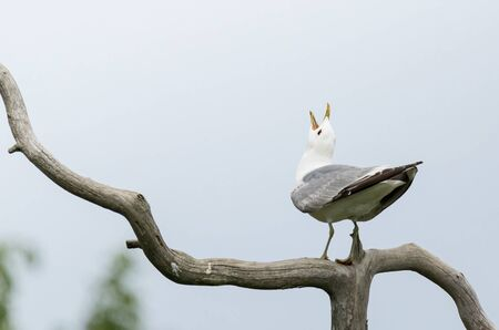 European Herring Gull screaming on a branch