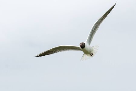 Black-headed gull flying in the sky