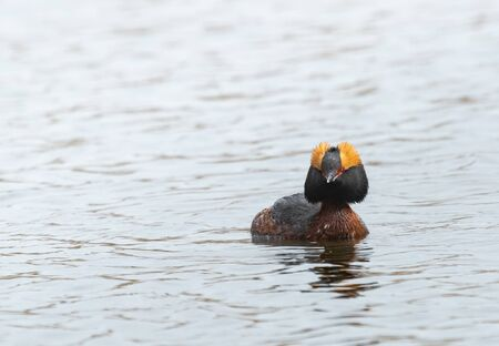 Slavonian grebe swimming on a pond Stock Photo