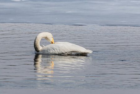 Whooper swan in water close the ice
