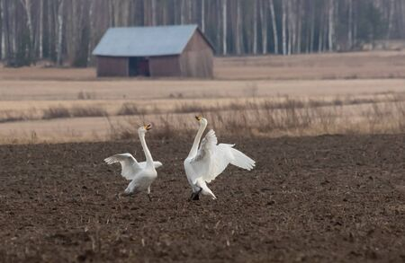 Whooper swan couple in a mating dance Stock Photo