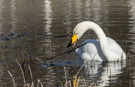 Whooper swan dining on a pond Stock Photo