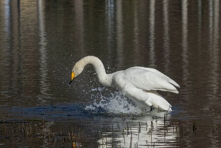 Whooper swan shaking its body in water