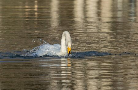 Whooper swan bathing in water