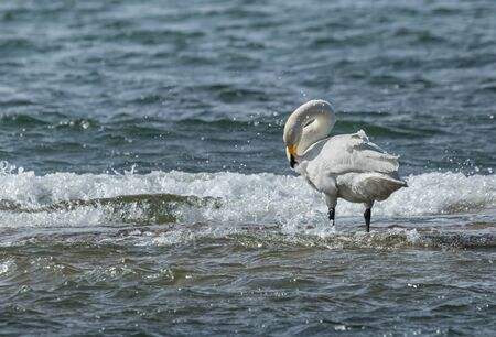 Whooper swan in the middle of sea waves Stock Photo