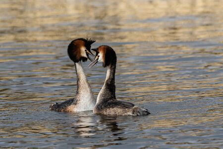 Great Crested Grebes bonding