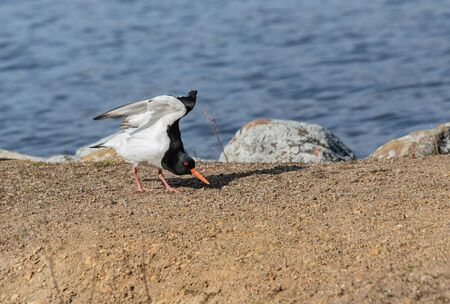 Eurasian oystercatcher stretching its wings at shore