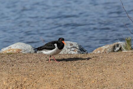 Eurasian oystercatcher at shore Stock Photo