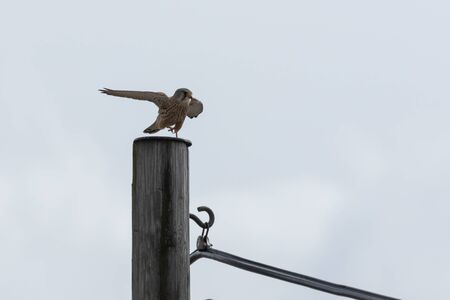 Common Kestrel landing on an electricity pylon
