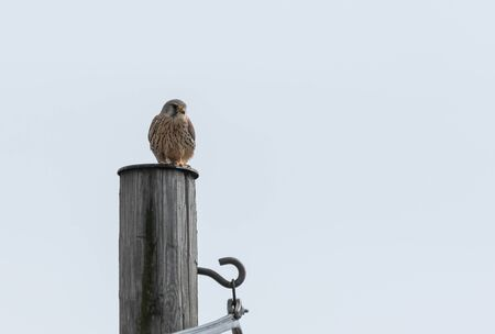 Common Kestrel standing on an electricity pylon