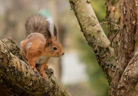 Red squirrel on an apple tree branch