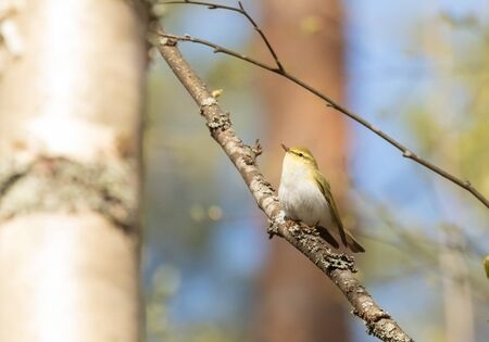 Wood Warbler on a birch branch Stock Photo