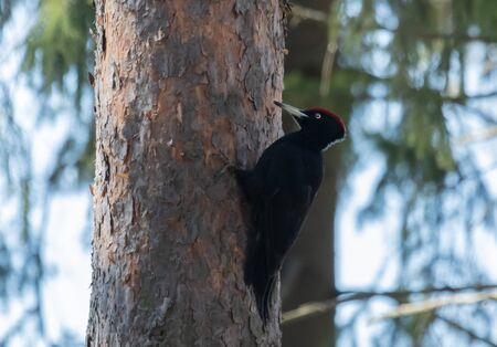 Black Woodpecker on a tree