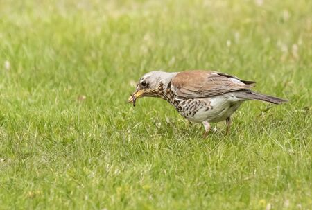Fieldfare with a catch in a beak
