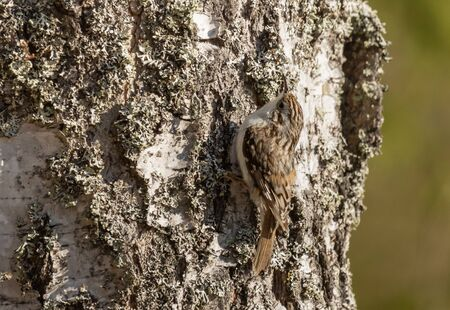 Eurasian Treecreeper on a birch trunk Stock Photo
