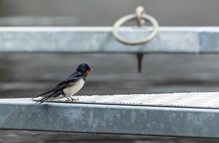 Barn Swallow on a dock Stock Photo