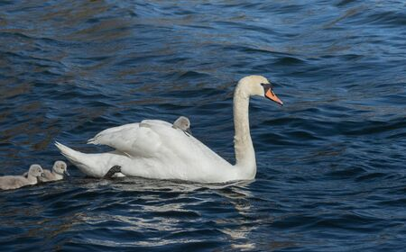 Mute swan swimming carrying a small cygnet on its back Stock Photo