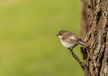 European Pied Flycatcher on a branch Stock Photo