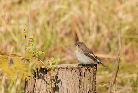 European Pied Flycatcher on a stump