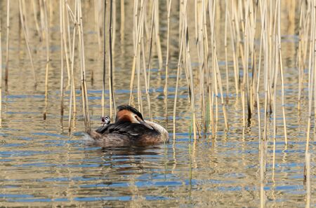 Great Crested Grebe carrying its baby on its back