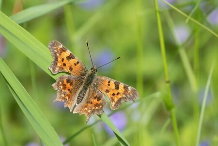 Comma Butterfly on a hay