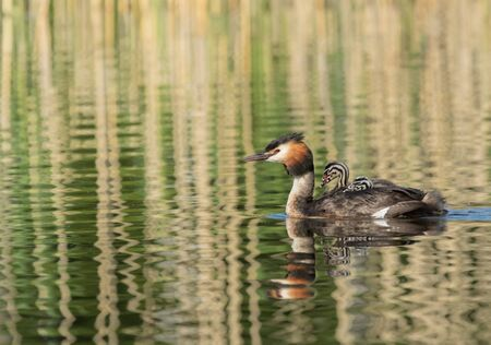 Great Crested Grebe carrying babies on its back