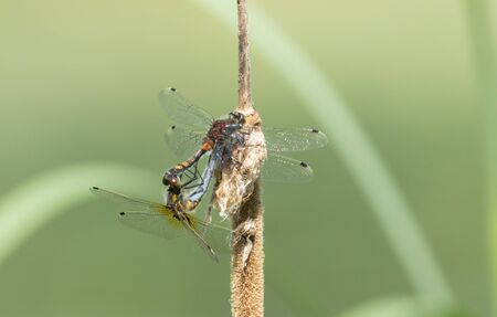 Dragonflies mating on a cane