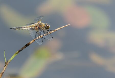 Four-spotted Chaser on a cane