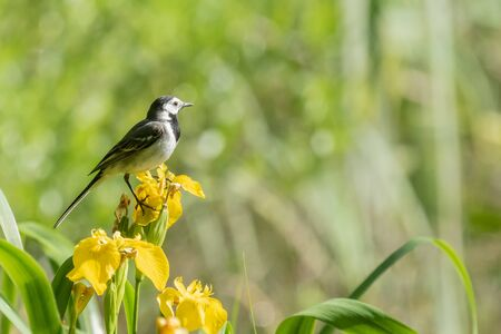 Wagtail on a yellow flower Stock Photo