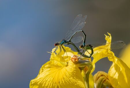 Dragonflies mating on a yellow flower