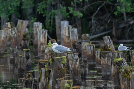Common gulls on wooden poles