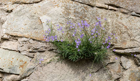 Wild flowers growing on a medieval church ruins wall Stock Photo