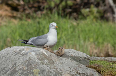 Common Gull and its chicks