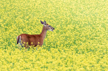 White-tailed deer is walking on a turnip mustard field