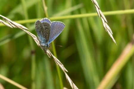Common Blue butterfly on a cane