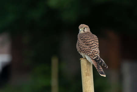Common Kestrel standing on a pole