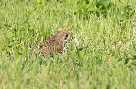 Common Kestrel standing on a field